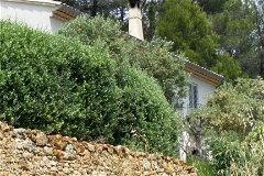 Olive Hedge Above Dry Stone Wall