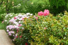 Rhododendron in front of house
