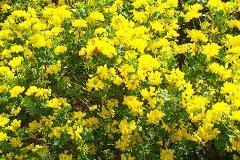 Coronille bushes