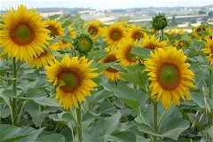View of Pillac through sunflowers