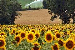 Local summer fields
