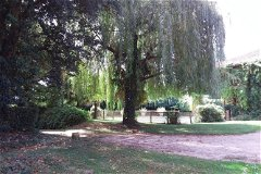 Willow tree by swimming pool