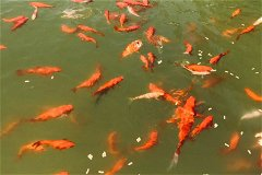 Fish in the ponds