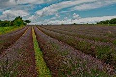 Neighbouring lavender fields