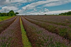 Neighbouring lavender fields