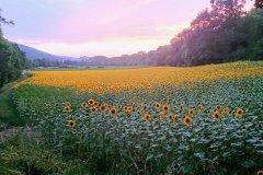 Sunflowers behind the village