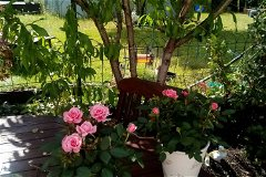 farmhouse . roses in front of the peach tree