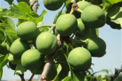 the figs not yet ripe