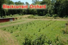 Blackcurrant Orchard