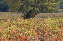 Vineyard, early Autumn