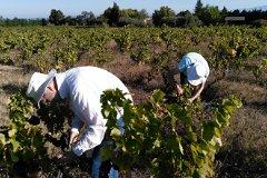 Harvesting grapes, upper vineyard