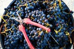 Grenaches, quality A+, upper vineyard
