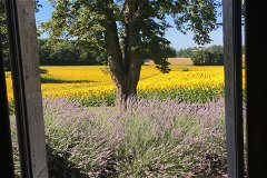 Views of lavender and sunflower fields